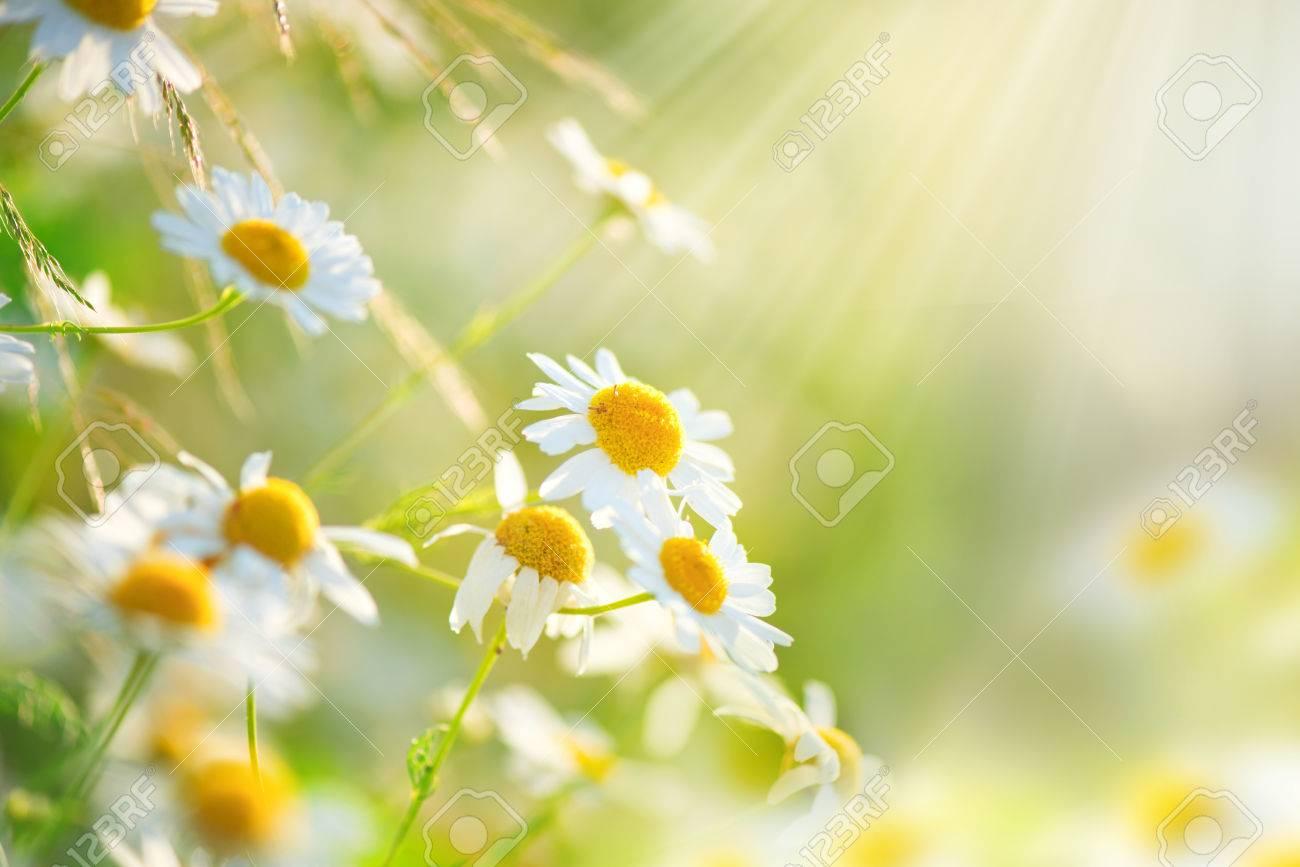62410694-camomille-fleurs-des-champs-frontière-belle-scène-de-la-nature-avec-la-floraison-chamomilles-médicaux