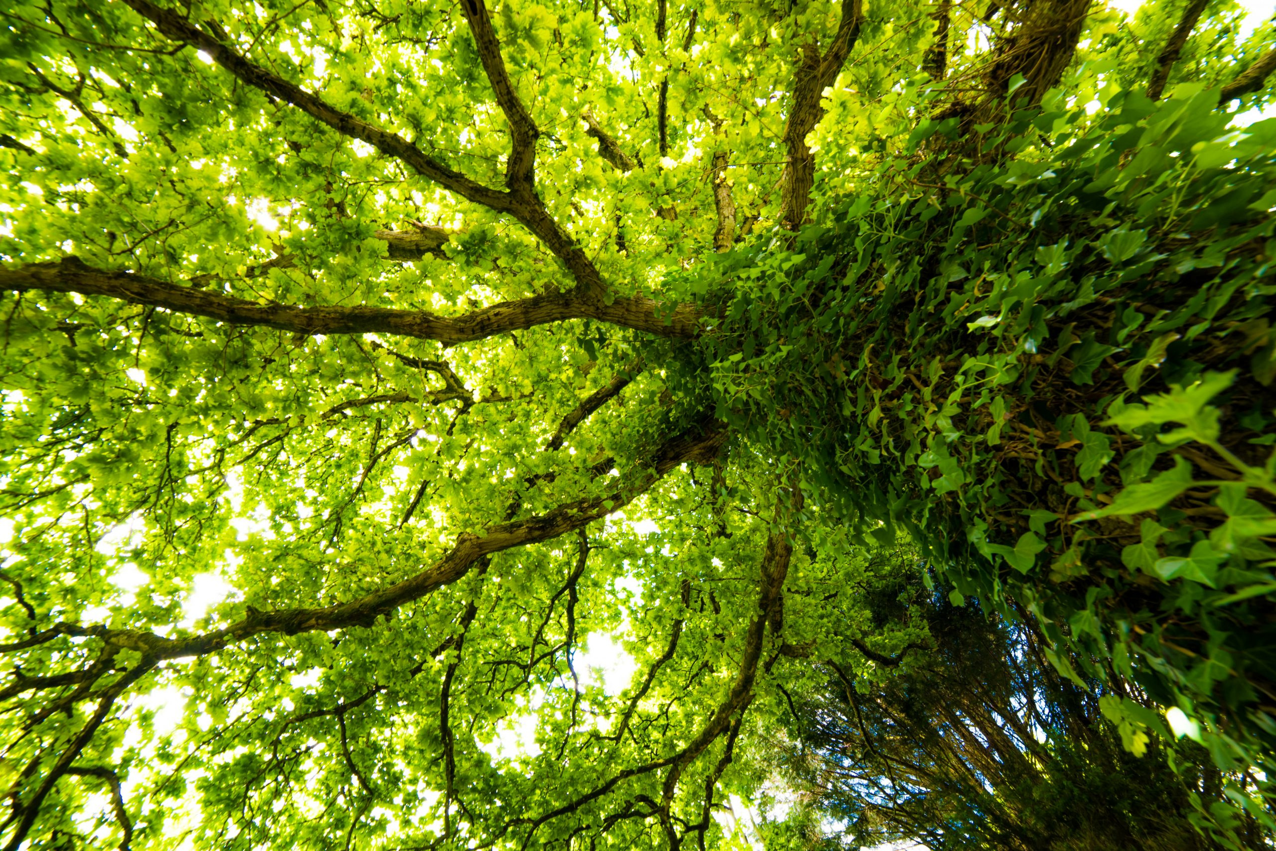Large ancient British oak tree